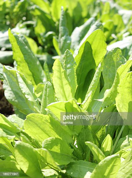 Sorrel in the garden