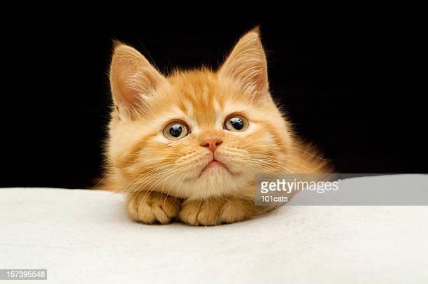 ソートヘア猫