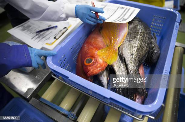Sorted fresh fish sit in a basket at CSN Chihou Sousei Network Co's fish processing and distribution center in the restricted zone of Haneda Airport...