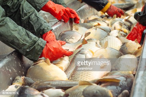 Sorting a freshwater fish : Stock Photo