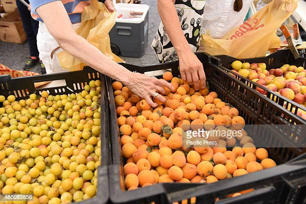 Sorting through yellow plums Union Square Park greenmarket is one of New York City's largest and oldest dating back to 1976