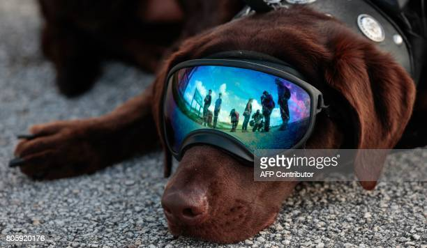 Soul River service dog Axe rests at the Arthur R Marshall Loxahatchee National Wildlife Refugee in Boynton Beach Florida on June 19 2017 Founded by...