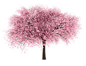 sour cherry tree isolated on white background