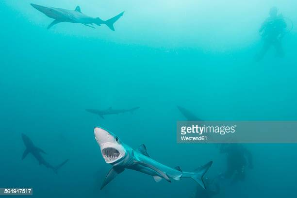 South Africa, Blue sharks, Prionace glauca, and divers