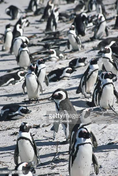 South Africa, Cape Town, Cape Peninsula, jackass penguins on beach