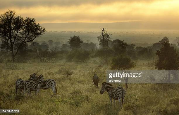South Africa, Kruger National Park, Misty morning with Zebras and wildebeest
