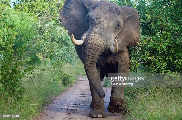 South Africa, Limpopo, Mopani District Municipality, Maruleng Local Municipality, Front view of elephant