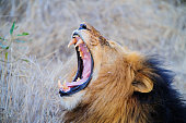 South Africa lion screaming on the savannah while lying