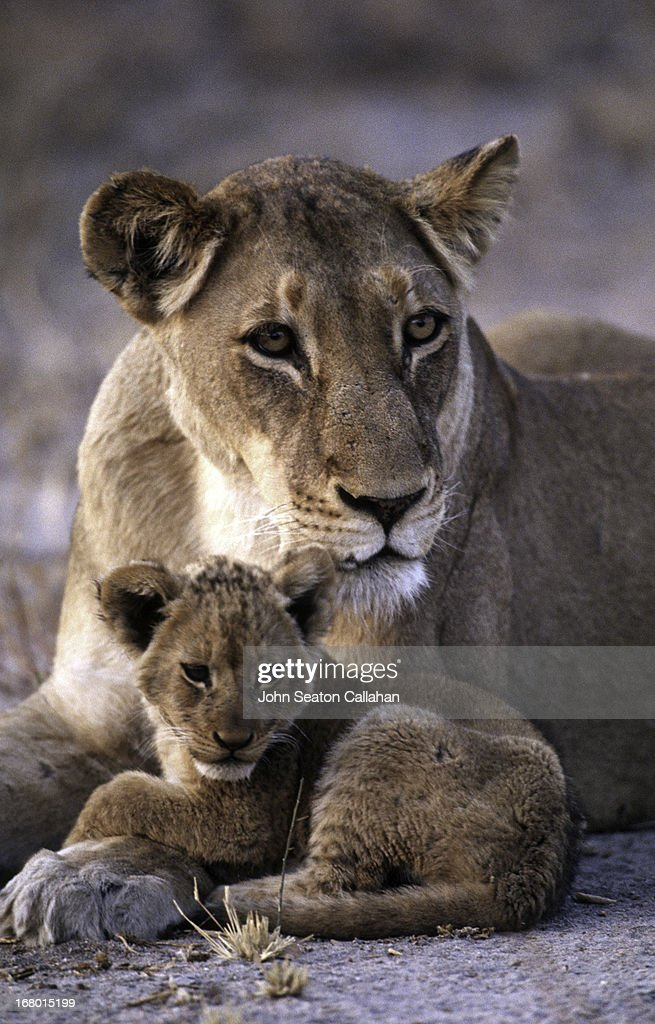 South Africa, lioness and cub. : Stock Photo