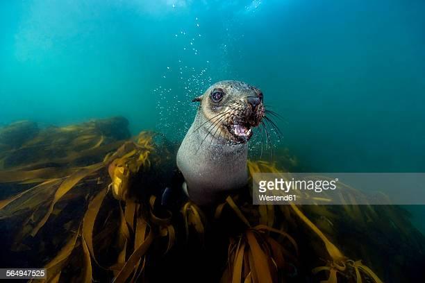 South Africa, Ocean, South african fur seal, Arctocephalus pusillus