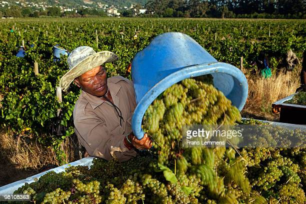 South Africa, Paarl, Grape harvest.