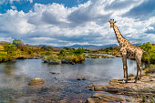 Picturesque shot of a giraffe, standing at the river bank.