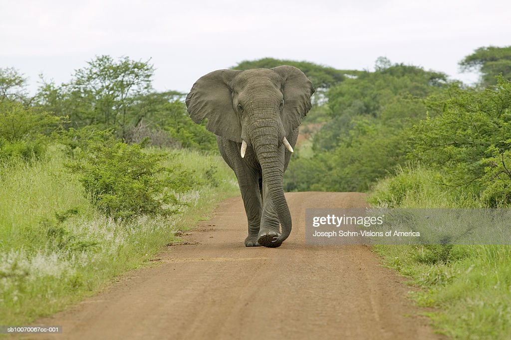South Africa, Umfolozi Game Reserve, male elephant with walking down road : Stock Photo