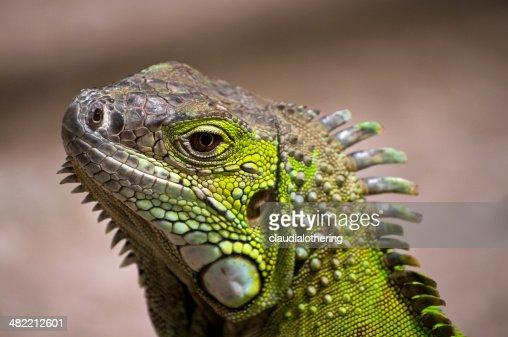 South Africa, Western Cape, Close-up of iguana lizard