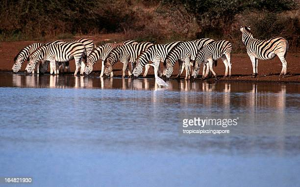 South Africa, Zebra drinking at waterhole.
