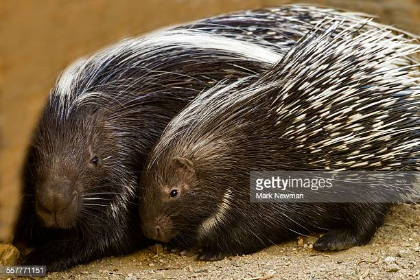 South african cape porcupine