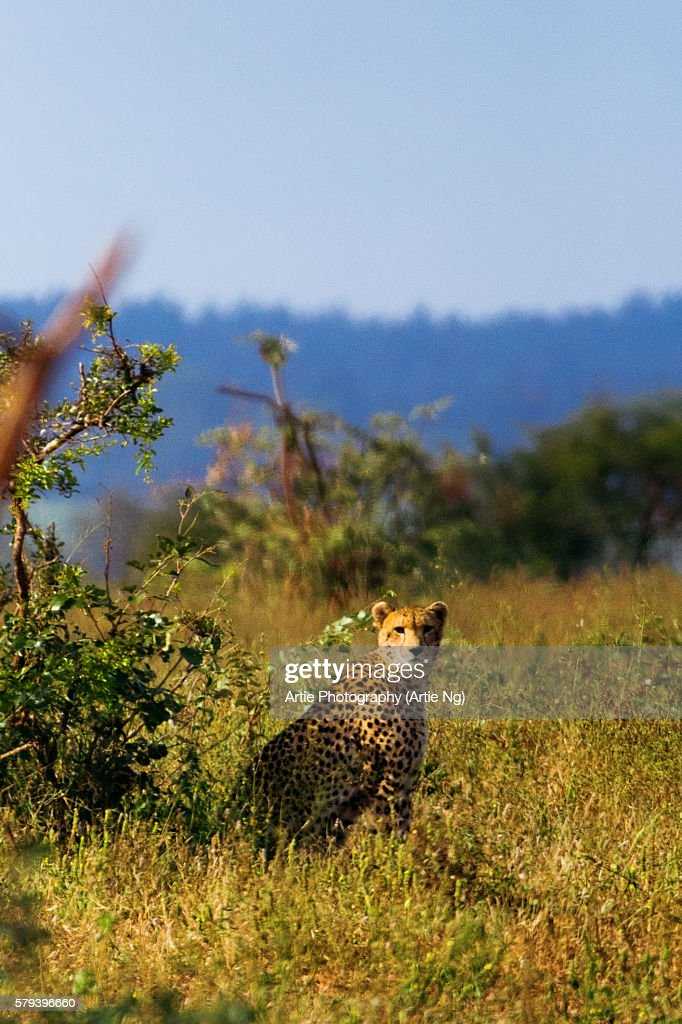 A South African Cheetah Chilling Out in the Bush, Kruger National Park, South Africa'n
