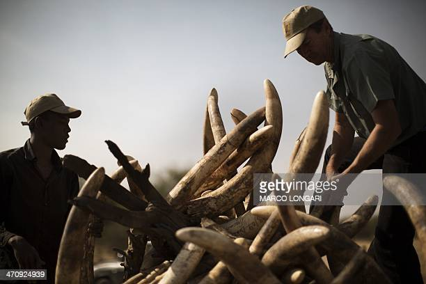 South African conservationist Pete Morkel and a ranger set up a pyre on which over a thousand kilos of elephant tusks will be incinerated during a...