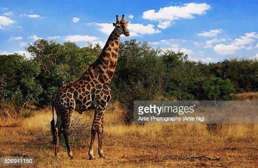 South African Giraffe, Kruger National Park, South Africa