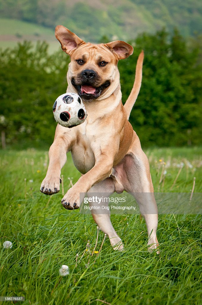South African Mastiff dog plays ball : Stock Photo