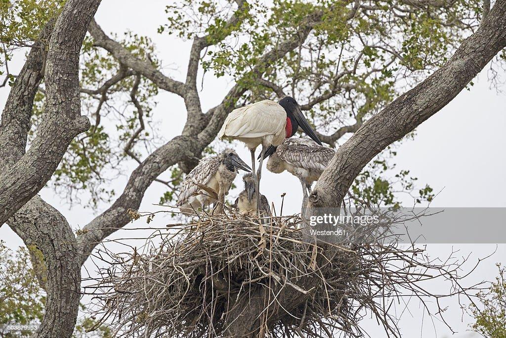South America, Brasilia, Mato Grosso do Sul, Pantanal, Jabiru, Jabiru mycteria, nest, stork and young animals : Stock Photo