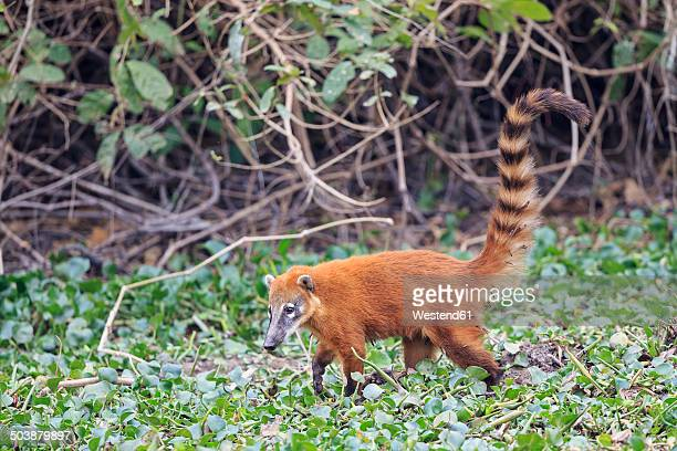 South America, Brasilia, Mato Grosso do Sul, Pantanal, South American coati, Nasua nasua