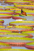 South America, Brasilia, Mato Grosso do Sul, Pantanal, Wattled Jacana, Jacana jacana, on lily pad