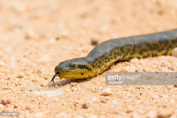 South America, Brasilia, Mato Grosso do Sul, Pantanal, Yellow anaconda, Eunectes notaeus