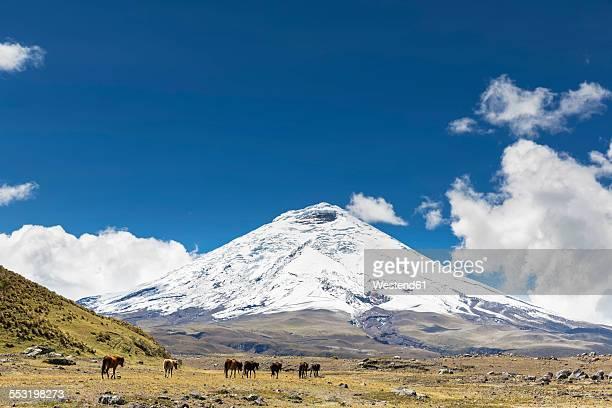 South America, Ecuador, Volcano Cotopaxi, Cotopaxi National Park, wild horses