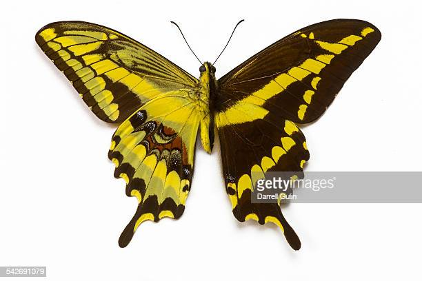 South American Swallowtail Butterfly