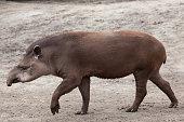 South American tapir (Tapirus terrestris), also known as the Brazilian tapir. Wild life animal.