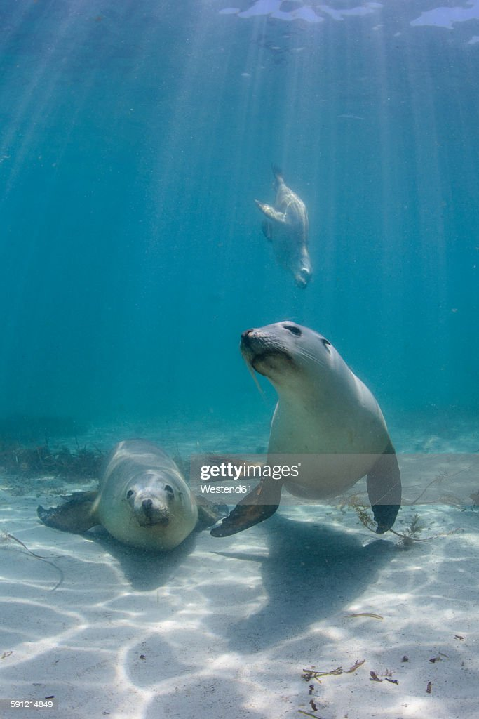South Australia, Hopkins Island, Sea lions