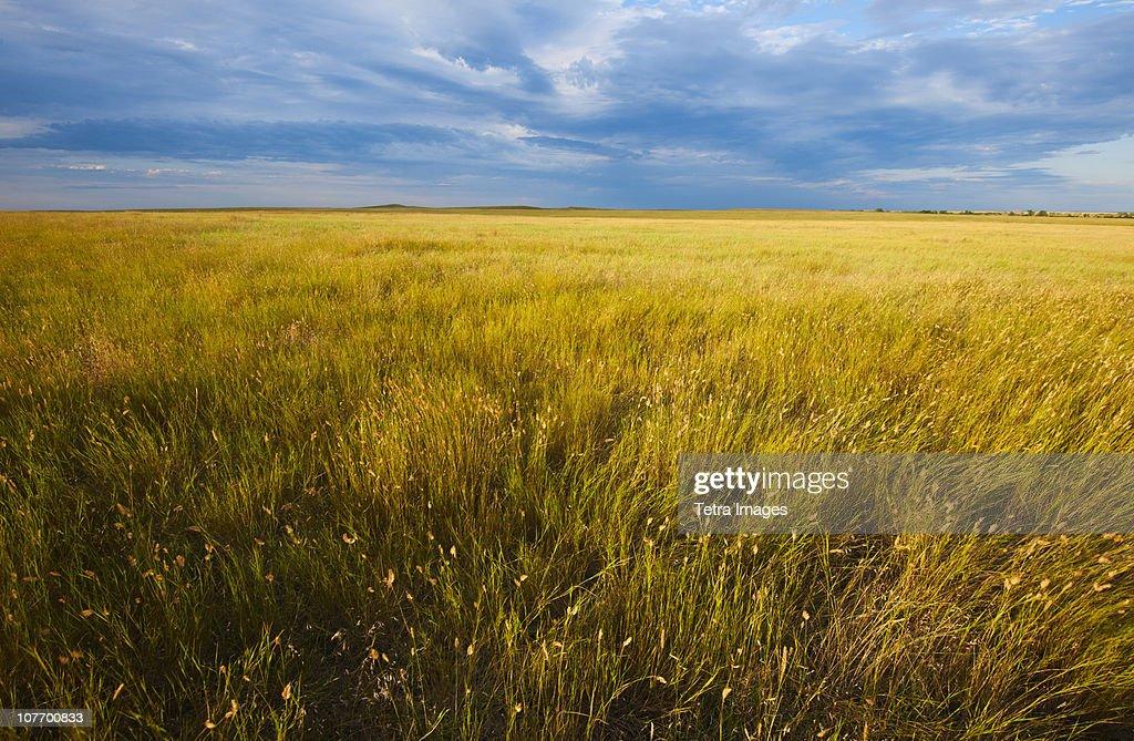 USA, South Dakota, Buffalo Gap National Grasslands, Yellow prairie grass