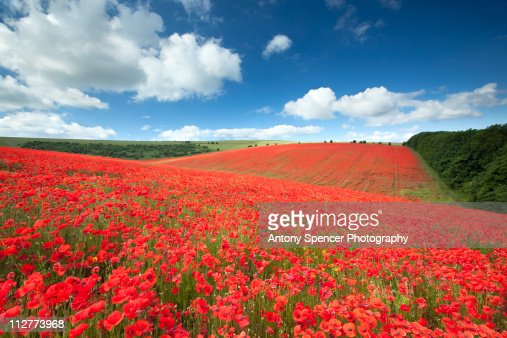 South Downs Poppyfield : Stock Photo
