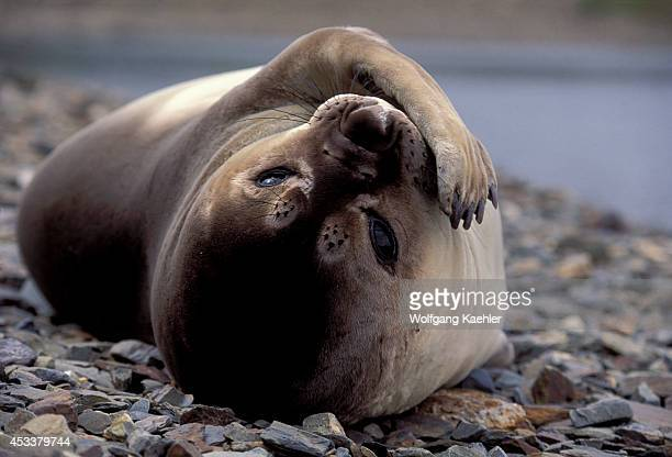 South Georgia Is Grytviken Elephant Seal Pup