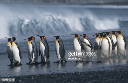 UK, South Georgia Island, colony of King Penguins marching on beach, side view : Stock-Foto
