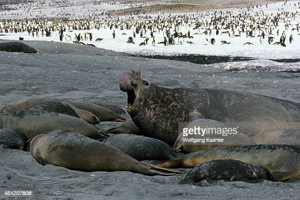 South Georgia Island Standrews Bay Elephant Seals On Beach Bull With Harem