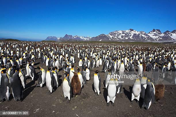 South Georgia, Salisbury Plain, King Penguin (Aptenodytes patagonicus) colony