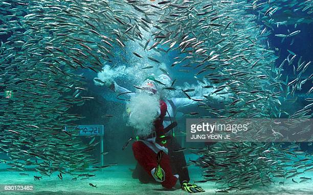 A South Korean diver wearing a Santa Claus outfit performs amongst fish in a tank during a Christmas event at the Coex Aquarium in Seoul on December...