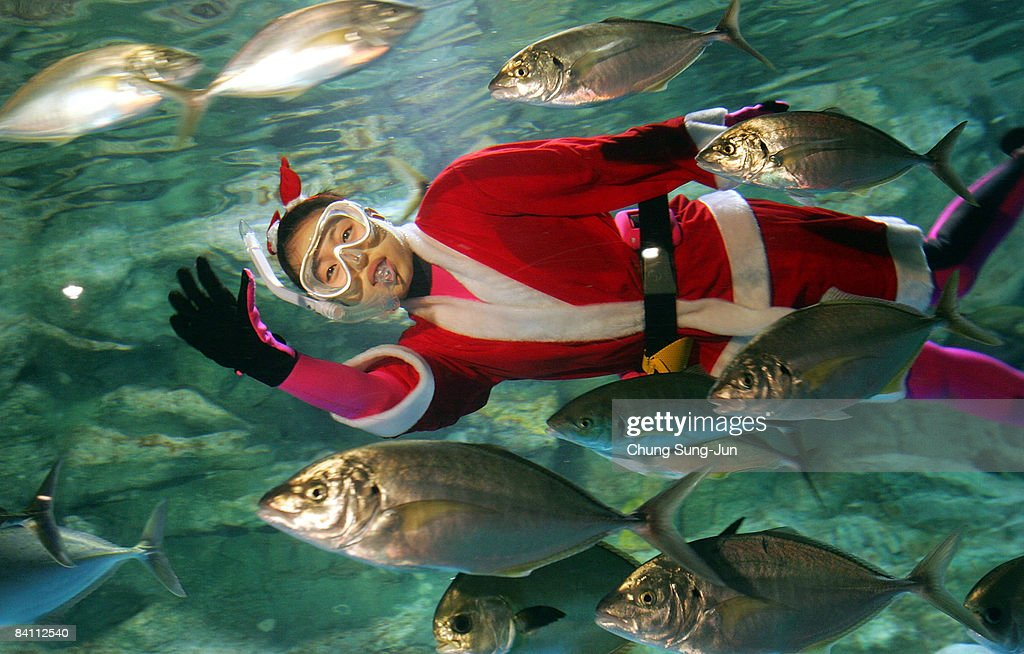 A South Korean female diver clad in Santa Claus costume swims with fish at the 63 City Aquarium on December 23, 2008 in Seoul, South Korea. The Santa Claus divers are an annual attactraction at the aquarium.