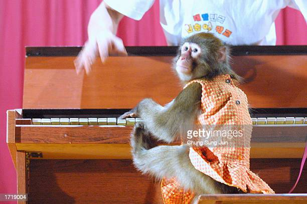 South Korean trainer instructs a monkey on how to play piano at a monkey school show January 10 2003 in Seoul South Korea The show demonstrates how...