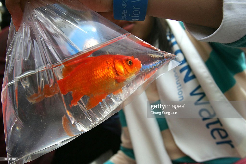South Koreans holds goldfish during a 'World Water Day' festival on March 22 2008 in Seoul South Korea World Water Day is an international day of...