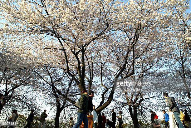 South Koreans walk beneath cherry blossoms near the national assembly on April 8 2004 in Seoul South Korea Cherry blossoms are in fullbloom at...