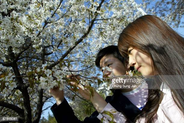 South Koreans walk beneath cherry blossoms near the national assembly April 16 2006 in Seoul South Korea Cherry blossoms are in fullbloom at midApril...