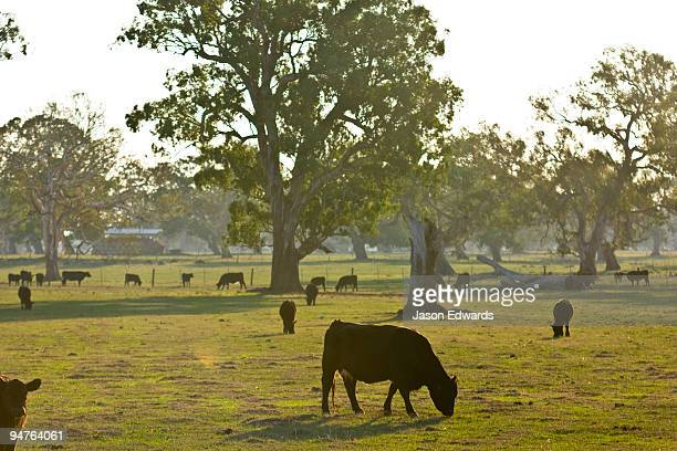 Cattle graze in a field on a small farm on the outskirts of a city.