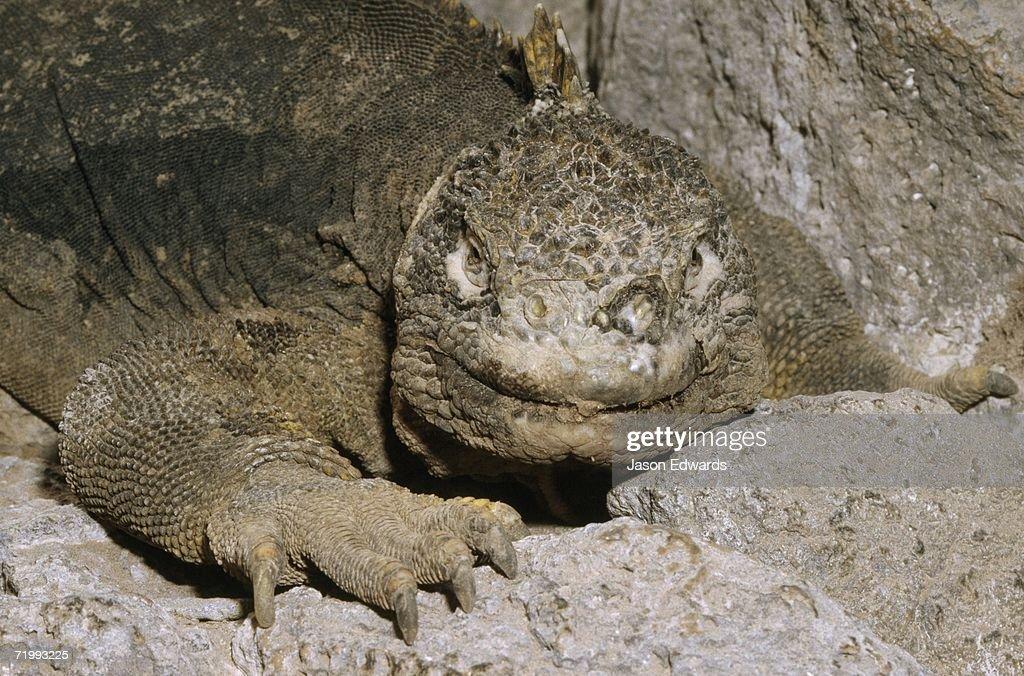 South Plaza Island, Galapagos Islands, Ecuador. A prehistoric-looking land iguana rests in a rock crevice. : Stock Photo