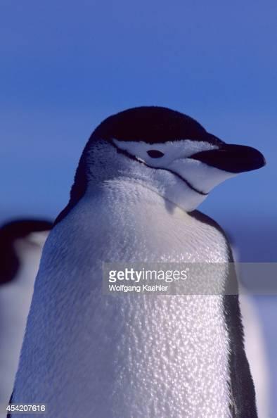 South Sandwich Islands Penguin Nest