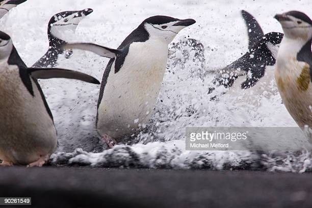 Chin strap penguins in foaming surf.