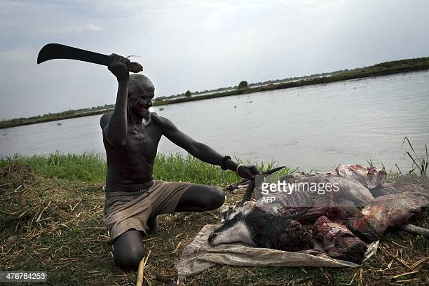A South Sudanese old man prepares an antilope in an isolated makeshift IDP camp for Dinka ethnic group placed in an island betweet Bor and Minkamman...