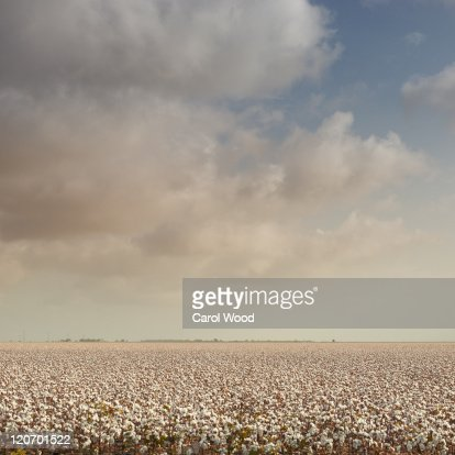 South texas cotton field
